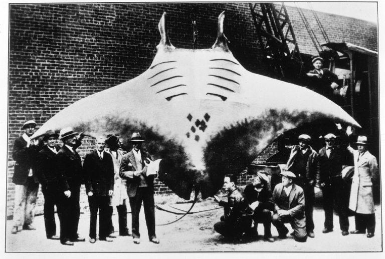 manta-ray-record